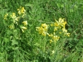 8406 - Cowslips