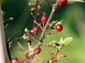 Alder Buckthorn 2