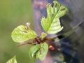 Alder Buckthorn 3