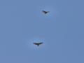 Buzzards 1