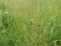 Catstail Grass 2