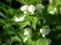 Deadnettle 03