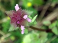 Deadnettle 01