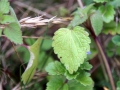 Deadnettle 02