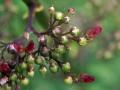 Figwort 03