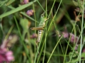 Grasshoppers 4