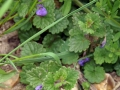 Ground Ivy 10