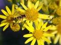 Hoverflies-Sawflies 1