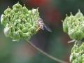 Hoverflies-Sawflies 2