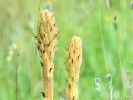 Knapweed Broomrape 1