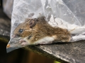 Mammal Trapping 2009 11