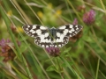 Marbled White 1