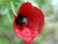Poppy 05