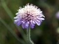 Scabious 01