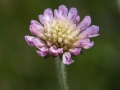 Scabious 02