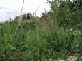 Unknown Grasses 2