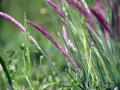 Unknown Grasses 3