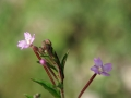 Willowherb 01