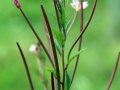 Willowherb 02